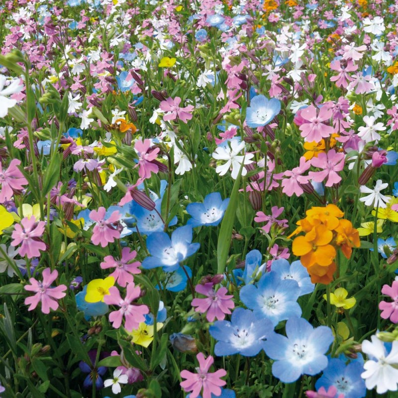 Prairie fleurie vivace extra courte pour jardin jardin for Plante fleurie pour jardin