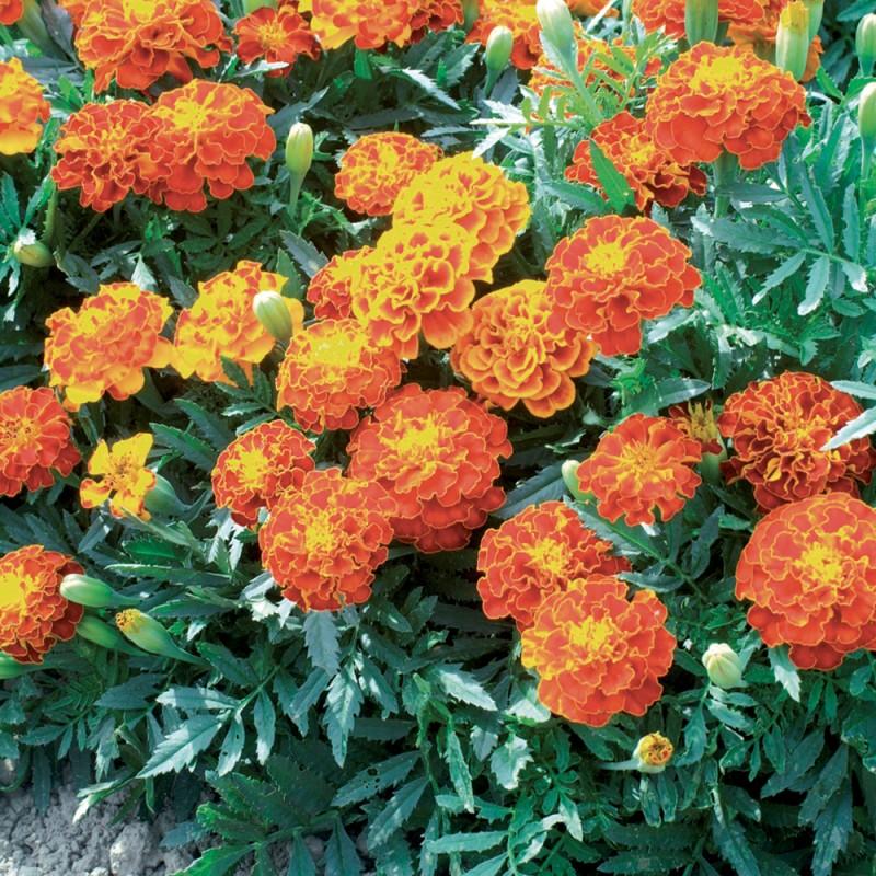 fleurs utiles pour le jardin oeillet du potager jardin biodiversit. Black Bedroom Furniture Sets. Home Design Ideas