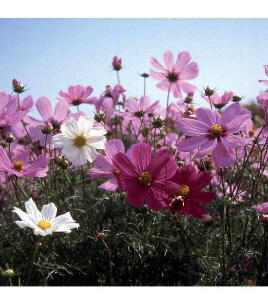 fleurs utiles pour le jardin cosmos nain jardin biodiversit. Black Bedroom Furniture Sets. Home Design Ideas