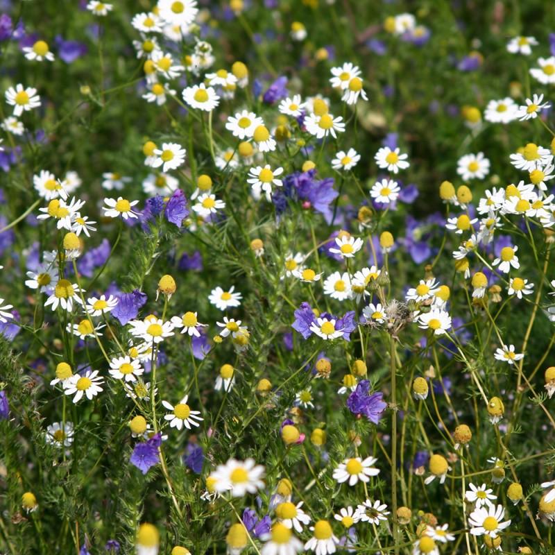 Jach re de vignes fleuries vignes fleuries vivaces - Fleur de jachere ...