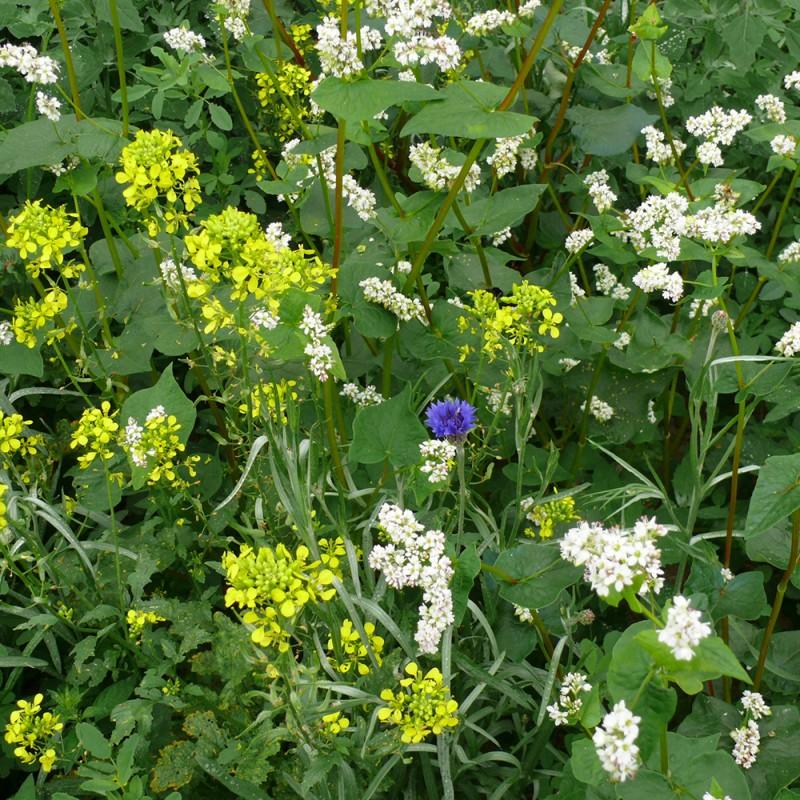 Jach re fleurie m lange faisans jardin biodiversit - Fleur de jachere ...