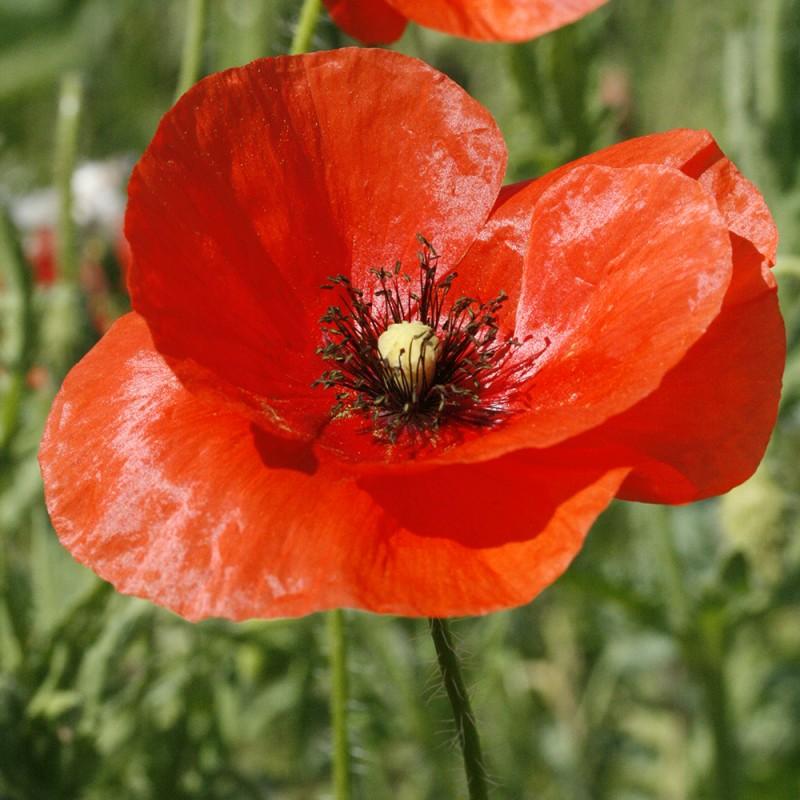 fleurs sauvages coquelicots rouges de la gamme nature color de nova flore. Black Bedroom Furniture Sets. Home Design Ideas