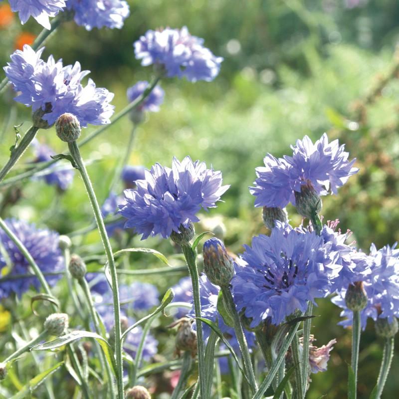 Bleuet bleu de la gamme nature color de nova-flore pour ...