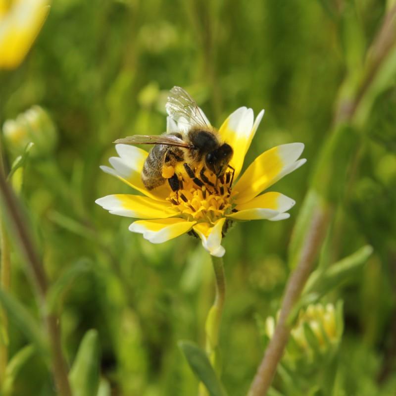 Offrez votre jardin une jach re mellif re pour attirer - Fleur de jachere ...
