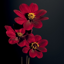 Dahlia A La Folie - Label Rouge
