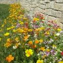 Pied de Mur - Prairie Fleurie