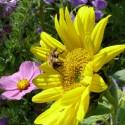 Miellée annuelle et vivaces Connect