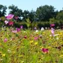 Papillon Annuelles - Prairie Fleurie