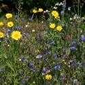 Nectar - Jachère Fleurie