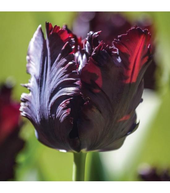 Tulipe Perroquet Noire