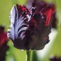 8 Tulipe Perroquet Noire