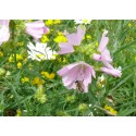 Mélange Pollinisation Vivace