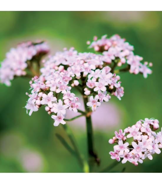 fleurs utiles pour jardin val riane officinale jardin biodiversit. Black Bedroom Furniture Sets. Home Design Ideas
