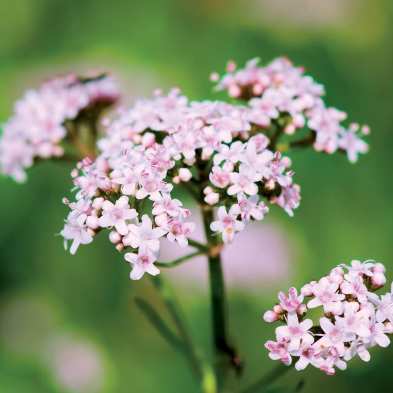 Fleurs Utiles au Potager