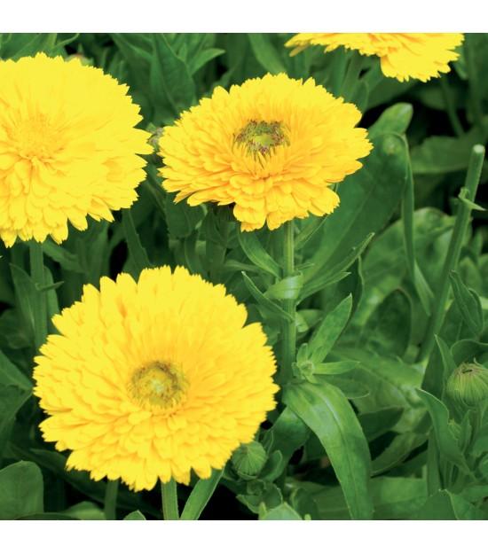 fleurs utiles pour le jardin souci jaune jardin biodiversit. Black Bedroom Furniture Sets. Home Design Ideas