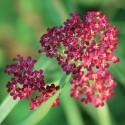 Achillée Cerise / Achillea millefolium