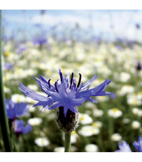 Bleuet Sauvage / Centaurea cyanus