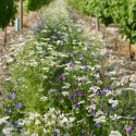 Vignes fleuries vivaces - Jachère Fleurie