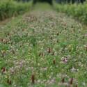 Vignes fleuries sauvages - Jachère Fleurie