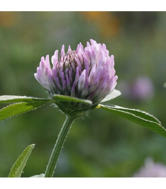 Trèfle violet - Trifolium pratense