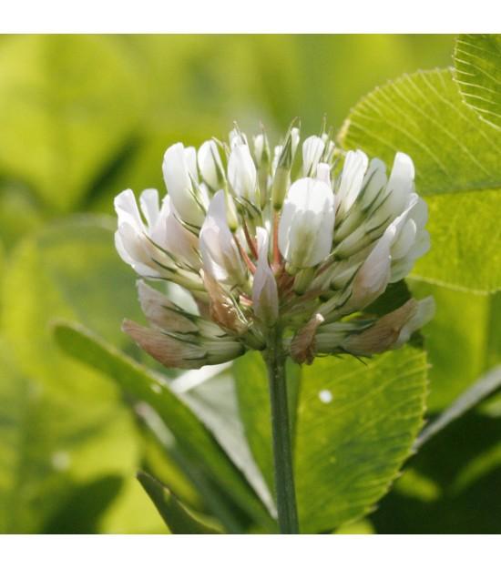 Trèfle blanc - Trifolium repens