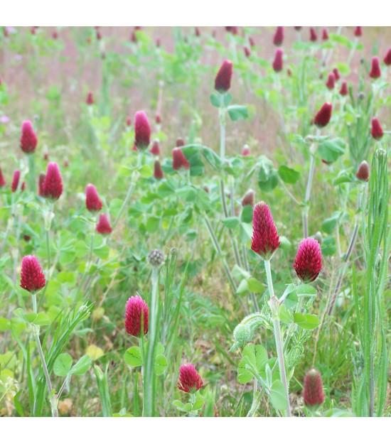 Trèfle incarnat - Trifolium incarnat