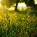 Ray grass anglais - Lolium perenne (Engrais Vert)