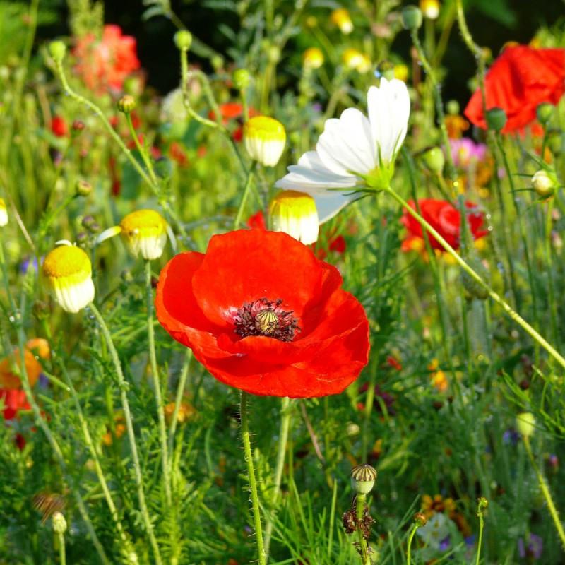Prairies fleuries annuelles pour fleurir facilement votre for Fleurir son jardin