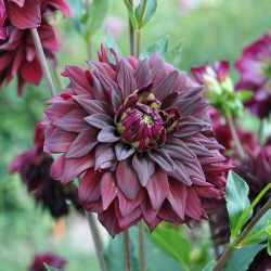 Dahlia Noir Desir - Label Rouge