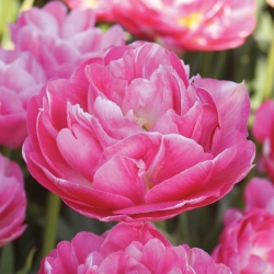 Tulipe Rose des Vents