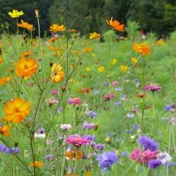 jach re fleurie annuelle pour jardin farondole jardin biodiversit. Black Bedroom Furniture Sets. Home Design Ideas